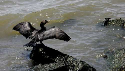 Ave, Rio de la Plata, wings, bird