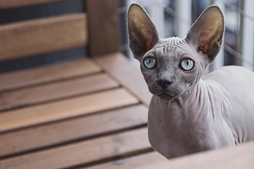 free images   Egyptian Cat Sphynx with blue eyes