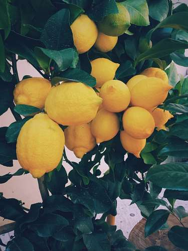 free images  Lemon Tree