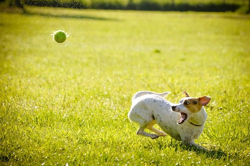 free images  Funny puppy playing with his tennis ball
