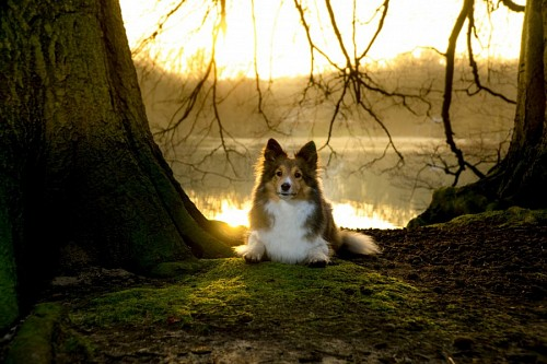 Sheltie dog posing in the forest