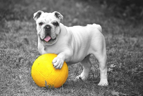 English bulldog with his yellow ball