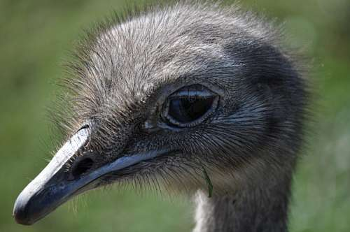 free images  Ostrich