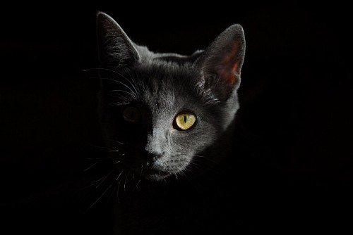 free images  Gray cat with black background