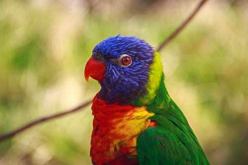Agapornis bird