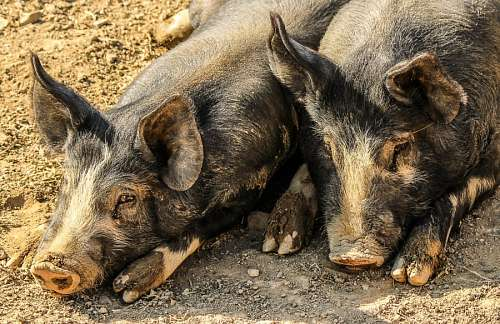 Pigs resting at farm