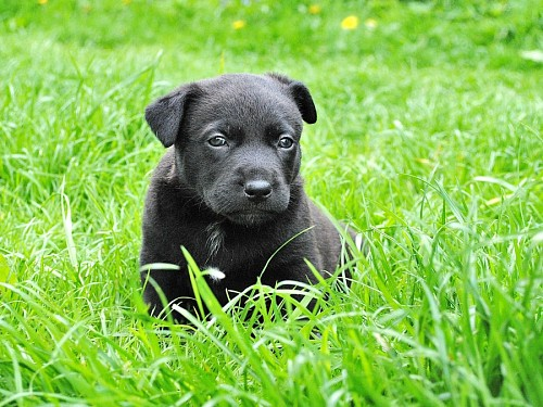 free images  Little black labrador puppy on the lawn