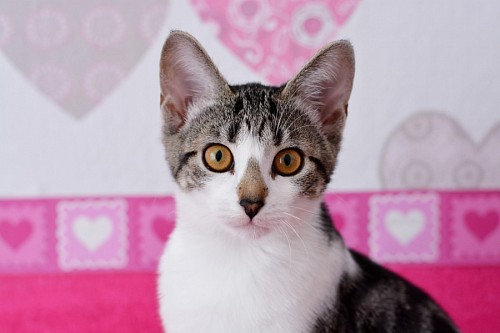 Cute kitten with hearts background
