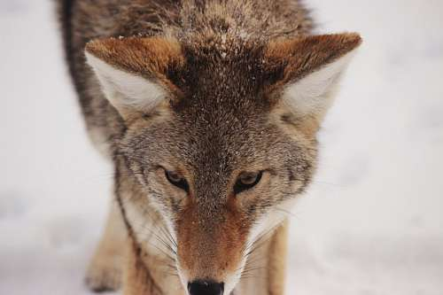 free images  Wolf
