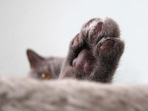 free images  Close-up of cat's paw
