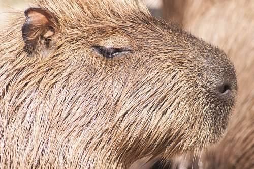 free images  Capybara