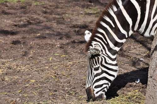 free images  zebra