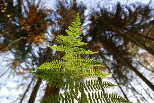 free images  fern