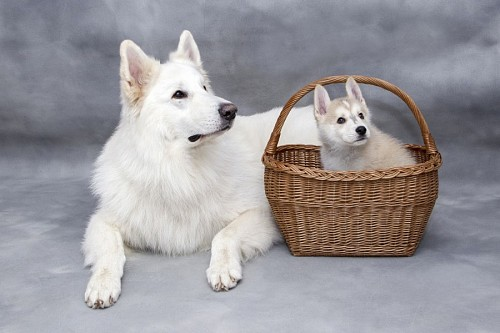 Siberian dog with her puppy inside a basket