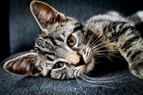 free images  Sweet tabby kitten taking a break on the couch