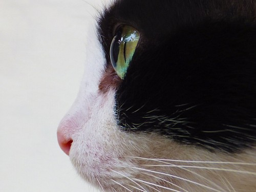 free images   Profile of black and white cat with intense green eyes