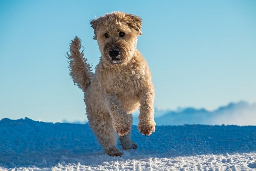 Irish Terrier dog with wheat in the snow
