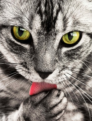 free images  Intense look of cat licking