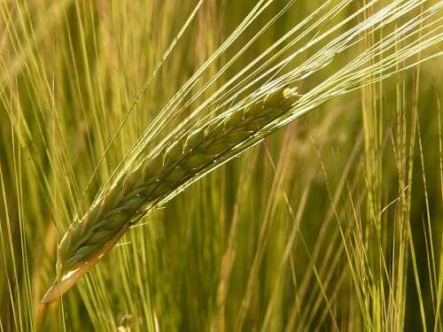 free images  barley