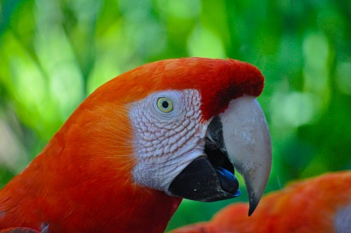 free images  Profile for Guacamayo red