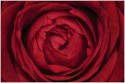 free images  Red Rose