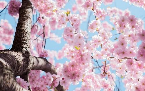 free images  Flores de cerezo para fondo de pantalla HD