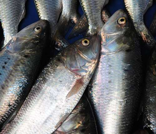free images  Bosnito Fish