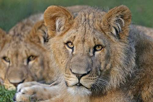 free images  Lions