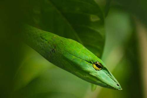 free images  Green Snake