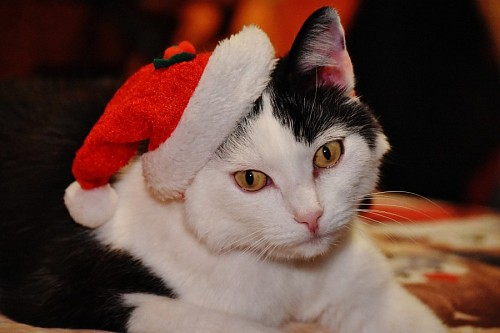 free images  Tender cat with a Christmas hat