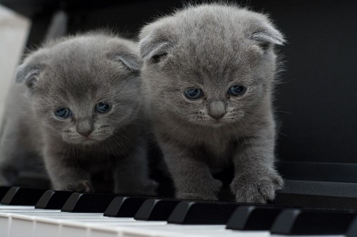 free images  Gray kittens on the piano