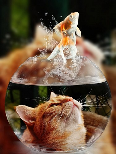 free images  Naughty kitten watching the fish jumping out of her fish tank