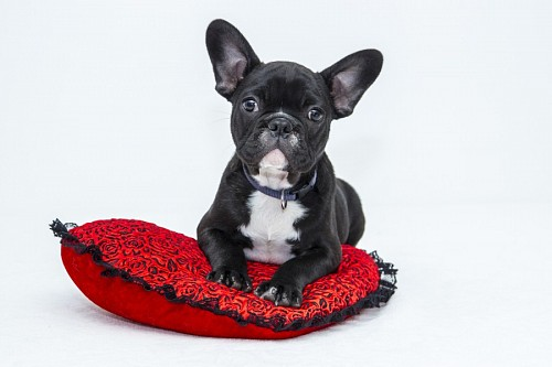 Adorable puppy of BullDog Frances on red cushion