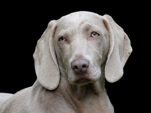 Close-up of Weimaraner dog