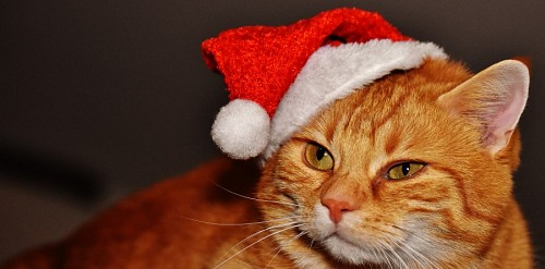free images   Profile of cat with christmas costume