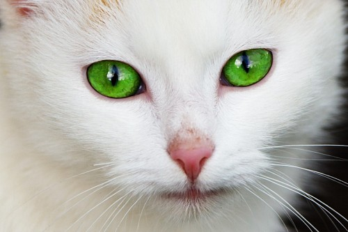 free images   Precious feline green eyes