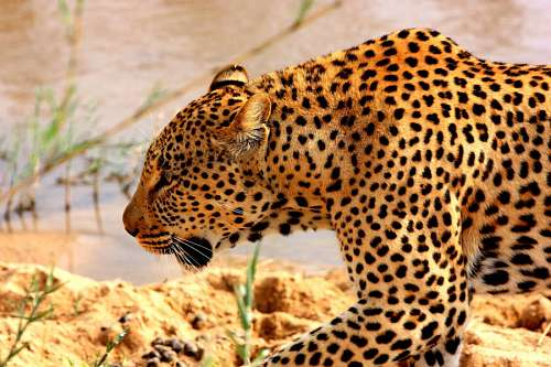 free images  Leopard