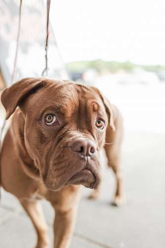 free images  Dogue de Bordeaux