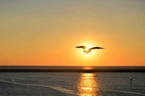 free images  seagull at sunset