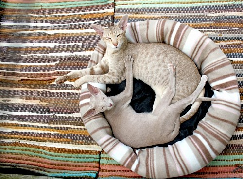 free images  Thai cats resting in bed for pets
