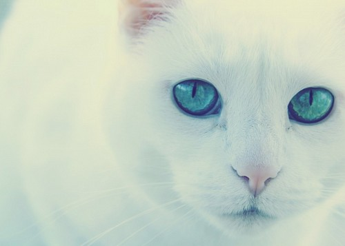 free images  Sweet albino cat with vibrant green look