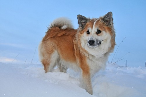 Icelandic sheepdog in the snow