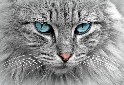 Gray cat with deep turquoise look