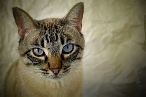 free images  Close-up of cat with deep blue eyes