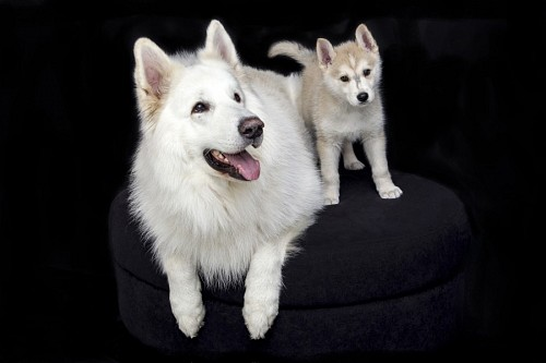 Siberian dog with his puppy in photographic production
