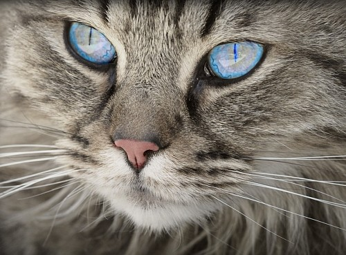 Beautiful feline look of deep blue