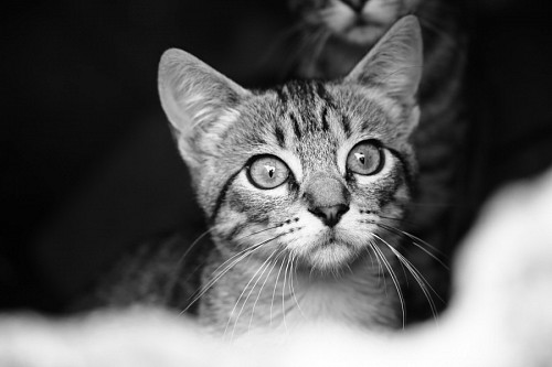 Kitty in black and white for wallpaper