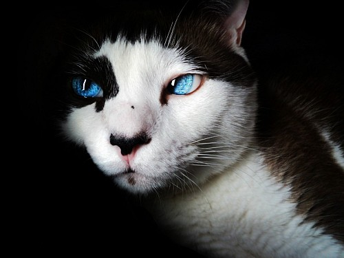 Intense blue cat eyes for wallpaper