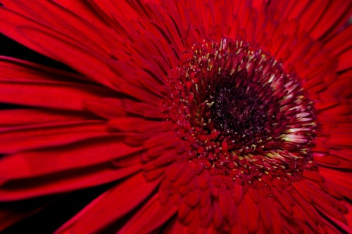 free images  Macro Red Gerbera