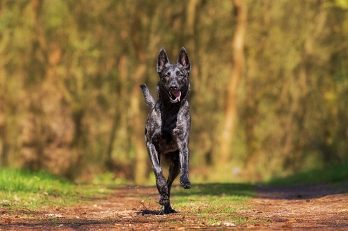 Adorable Black dog running in the field